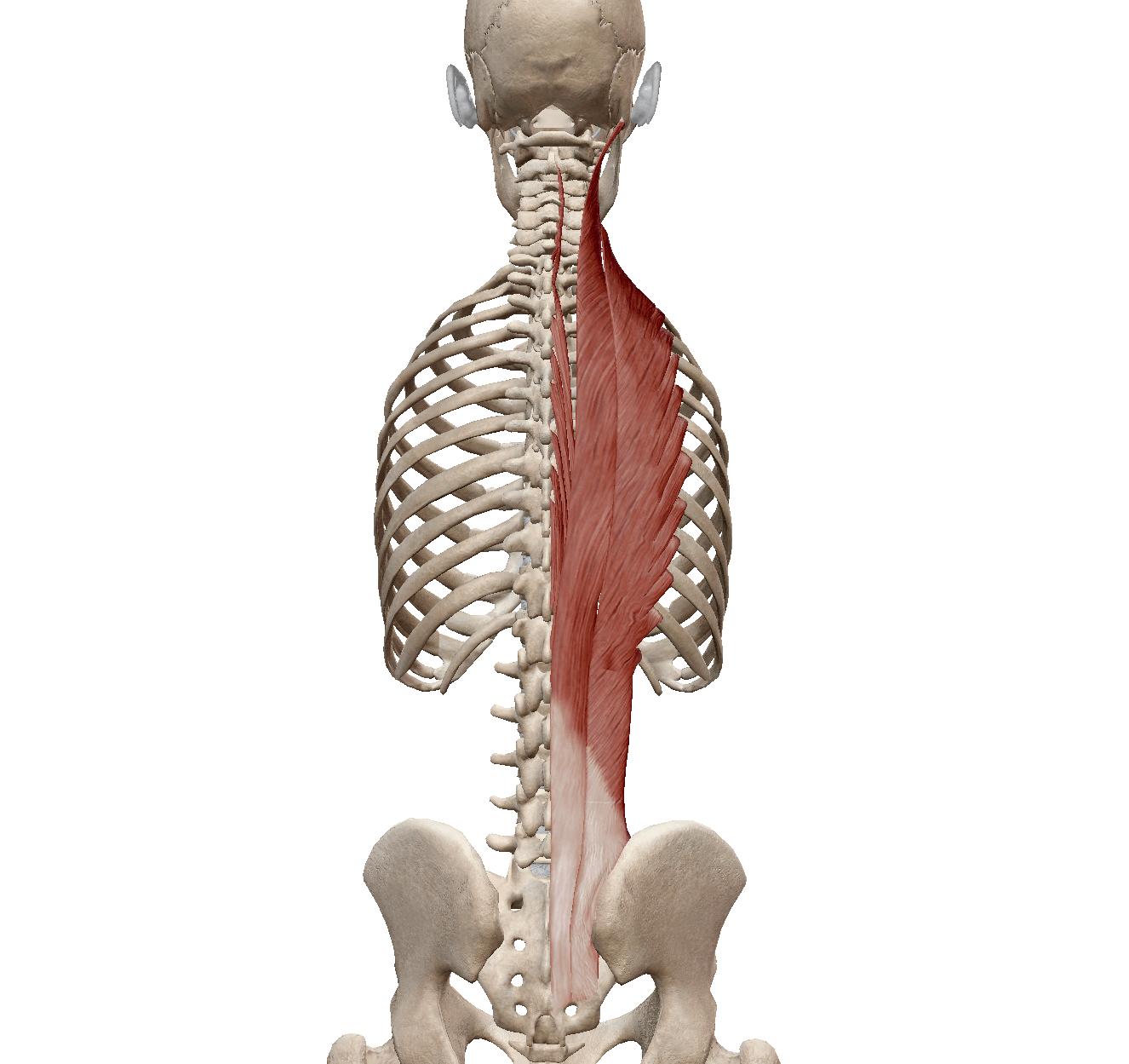 脊柱起立筋群(棘筋・最長筋・腸肋筋)